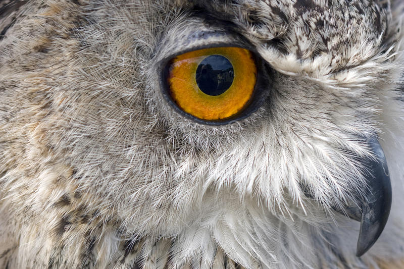 Download Owl staring out stock photo. Image of wings, feather - 12999404