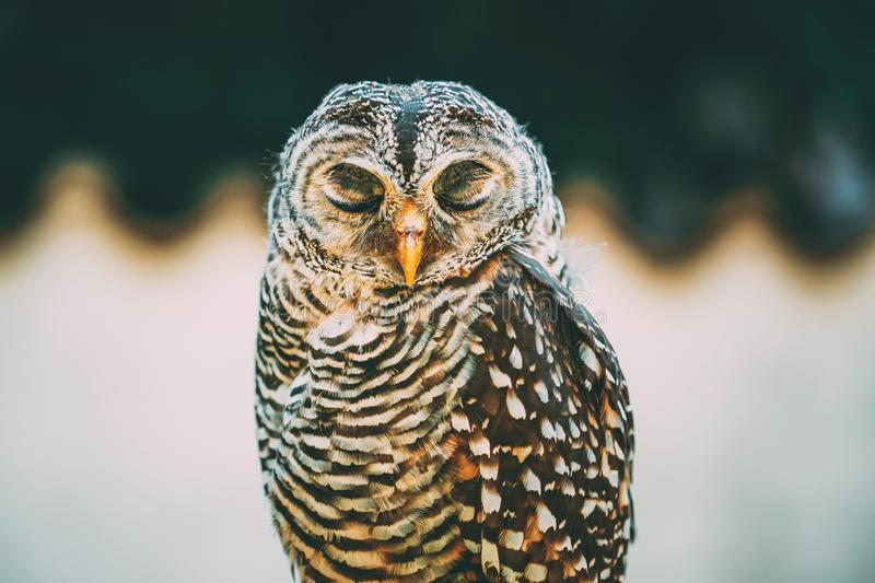 Owl Strix Rufipes Is Rufous-fornito di gambe A Owl With No Ear Tufts di medie dimensioni Uccello selvaggio immagine stock libera da diritti