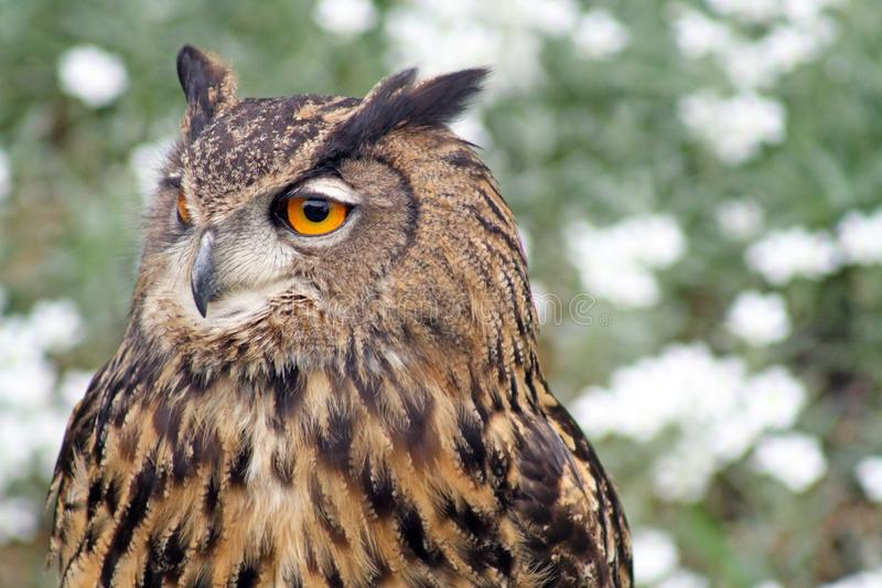 Owl. A stunning bird of prey on a sunny day royalty free stock image