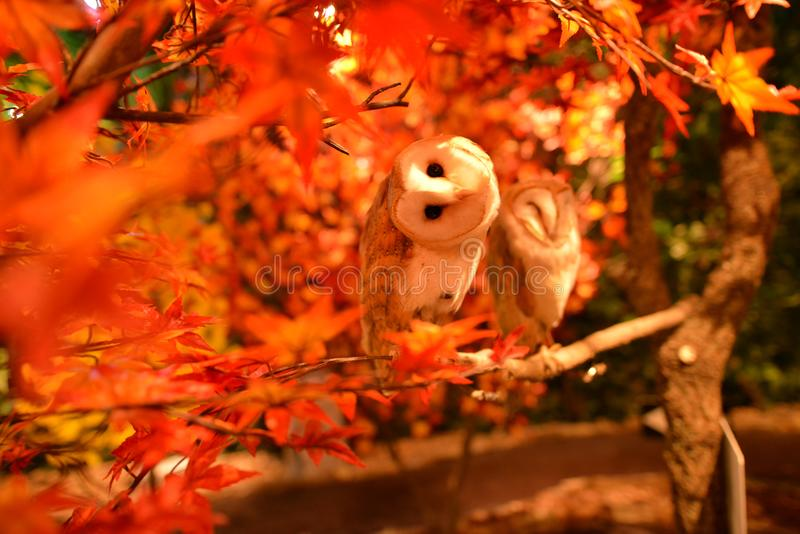 Owl Is A Symbol Of Wisdom Here Between The Orange Red Leaves In