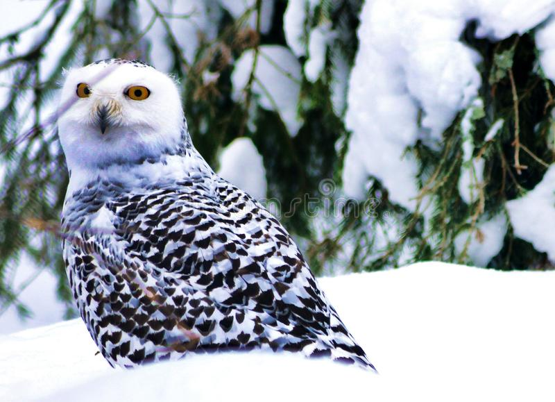 The Owl Is The Symbol Of Wisdom And Smart Here In The Frozen