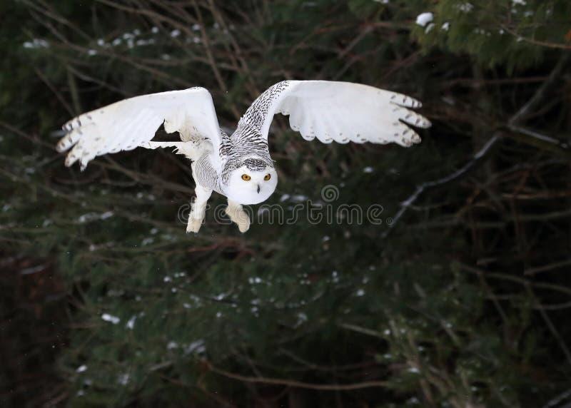 Owl Taking Flight nevado fotografia de stock