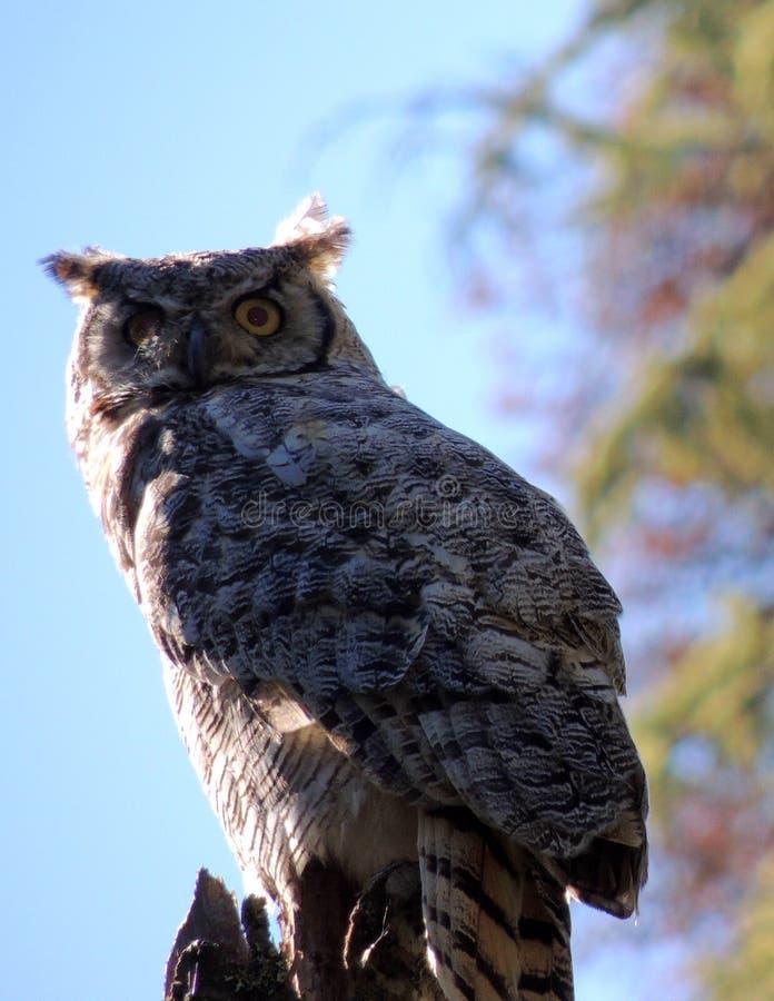 Owl at Touchwood Lake, Alberta. stock photos