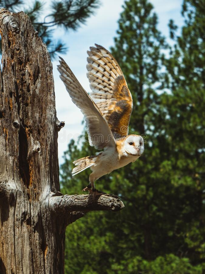 Owl on a tree branch with wings spread, about to fly, at the High Desert Museum. An owl on a tree branch with wings spread, about to fly, at the High Desert royalty free stock photo