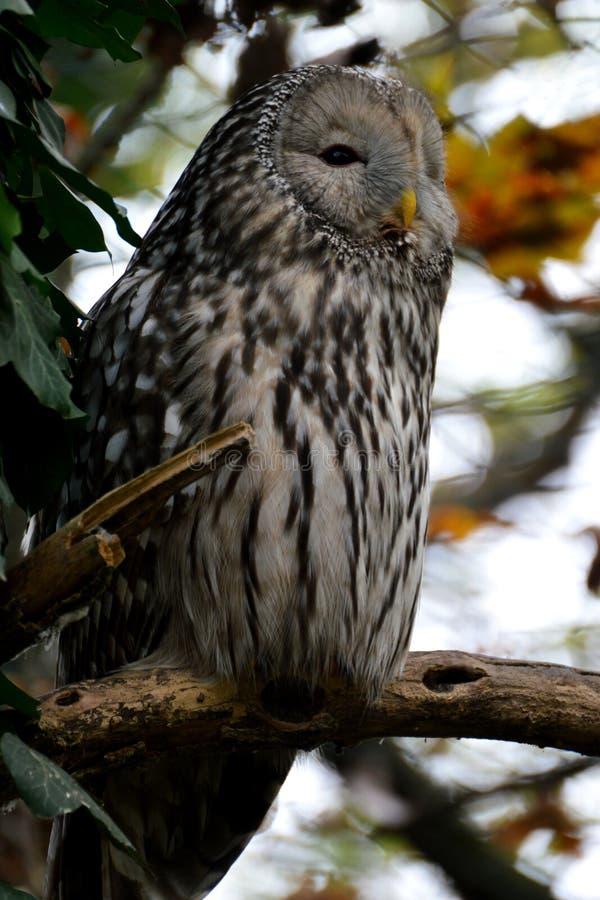 Owl on watch stock image