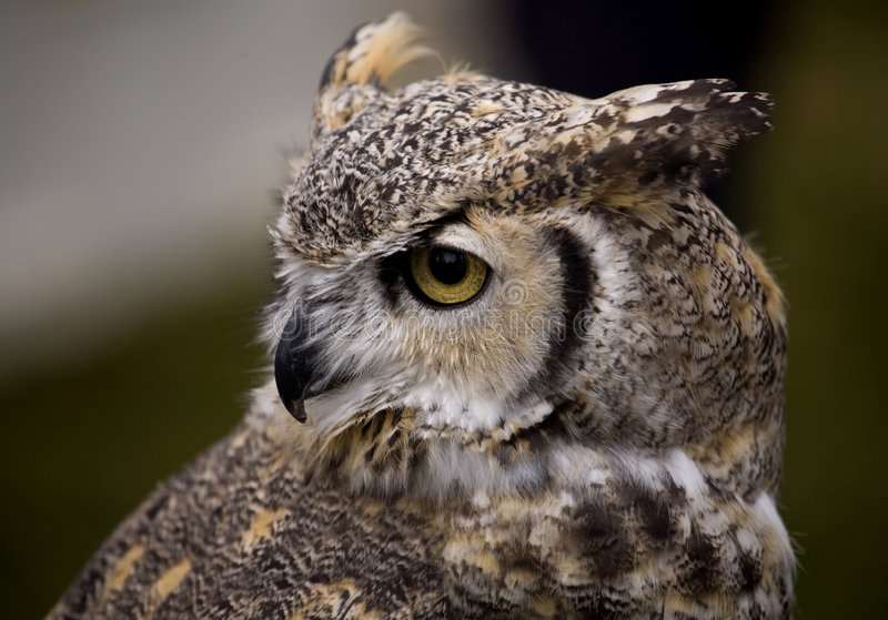 Download An Owl Watching stock photo. Image of nocturnal, feathers - 6737054