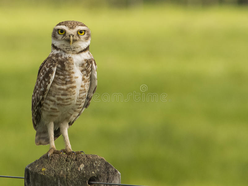Download Owl watching stock image. Image of nocturnal, trees, white - 37096173