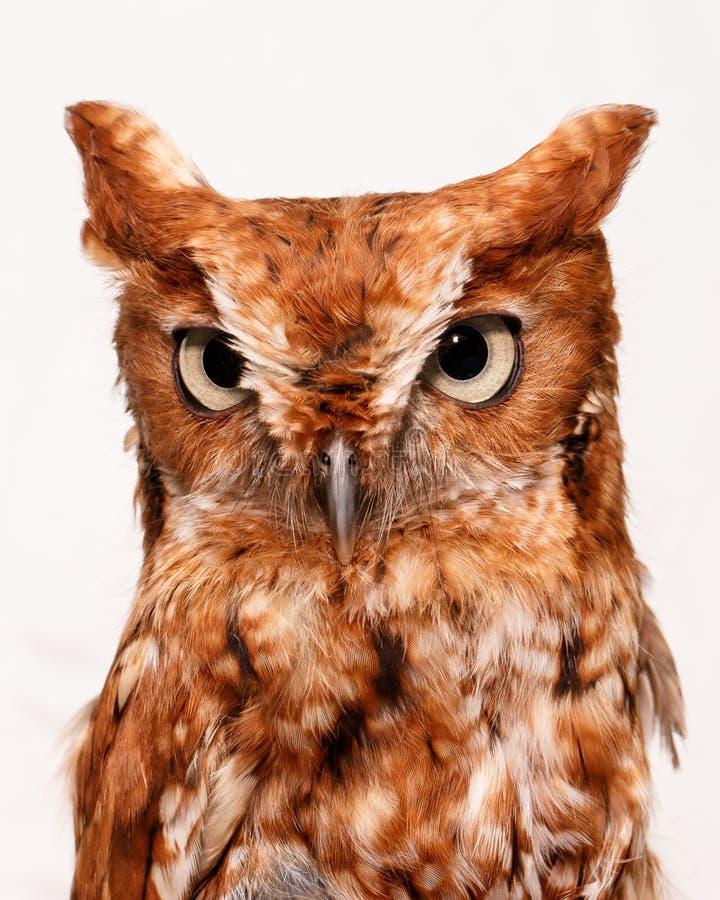 Owl On White Stock Image