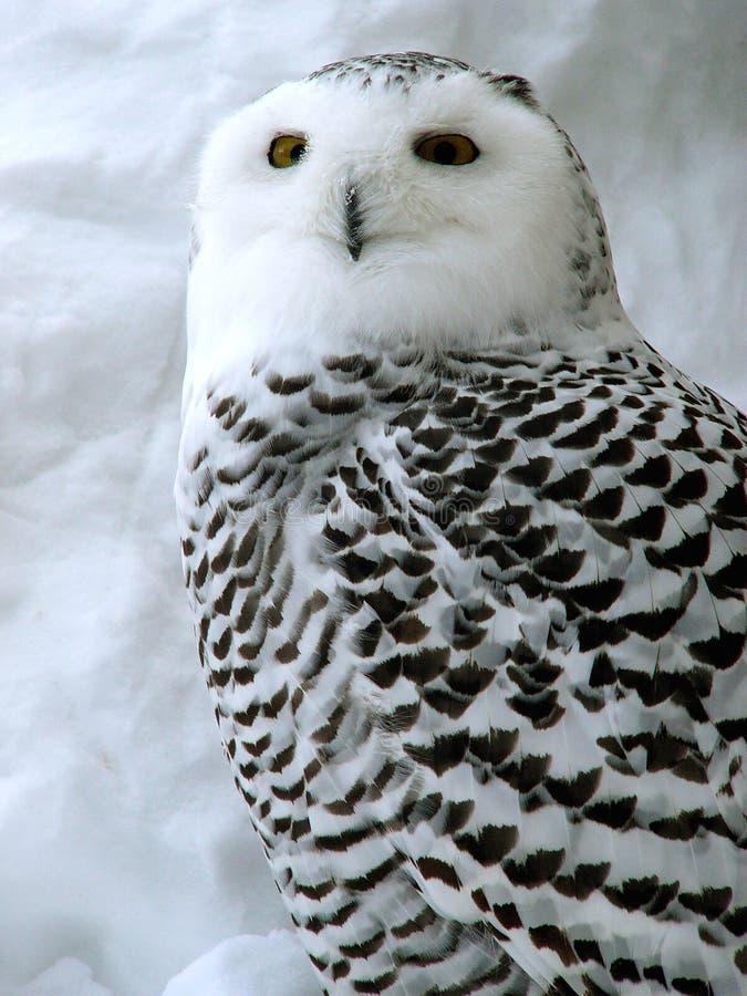 owl white 库存图片