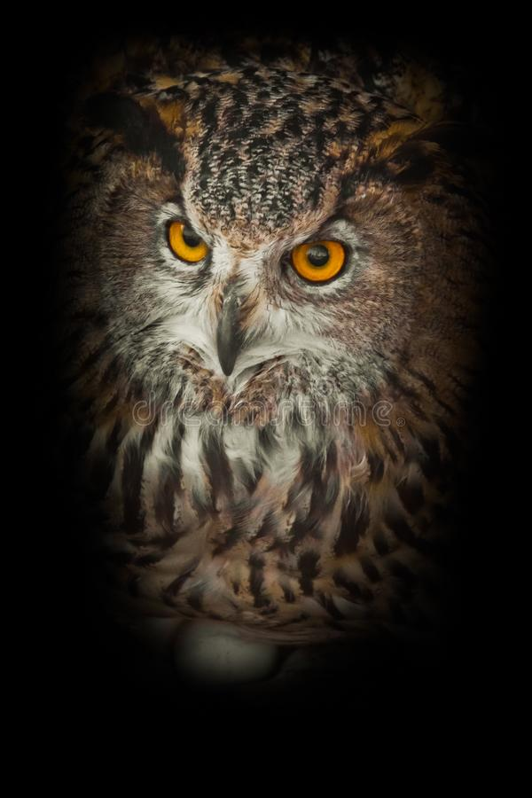 Free Owl With Clear Eyes And An Angry Look  Is A Large Predatory Owl. Isolated On Black Background Stock Images - 146288604