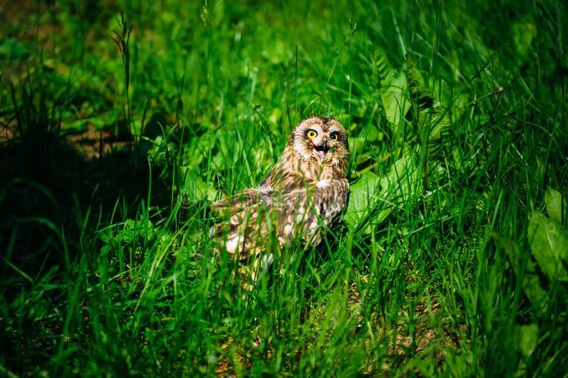 Owl zit in het groene gras op zonnige dag buiten Kleine uil met open bek, close-up stock foto
