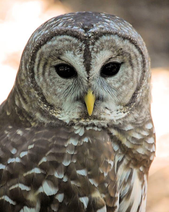 owl01 fotografering för bildbyråer