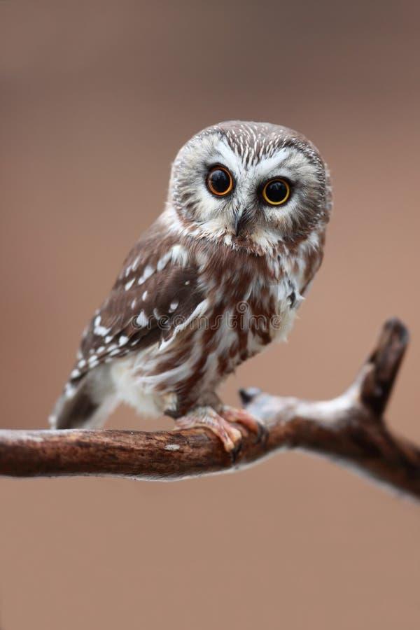 owlen såg för att whet arkivbild