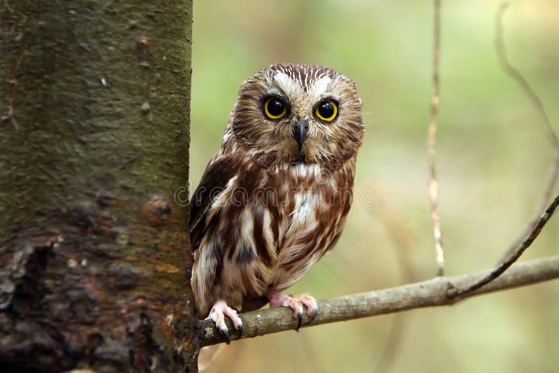 owlen såg för att whet royaltyfri fotografi