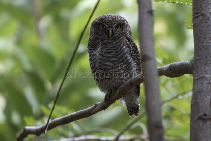 Owlet ζουγκλών που κάθεται σε έναν κλάδο δέντρων στο δάσος συχνότερα στοκ εικόνα με δικαίωμα ελεύθερης χρήσης