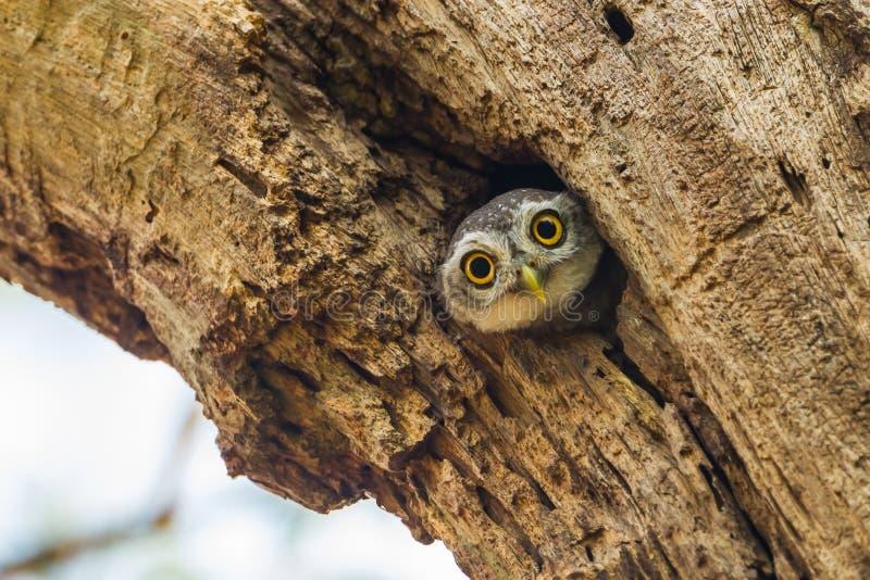 Owlet запятнанный детенышами стоковая фотография rf