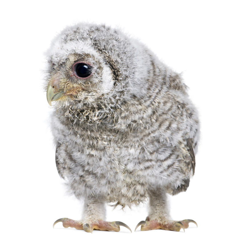 Owlet- Athene Noctua (4 Weeks Old) Stock Photo