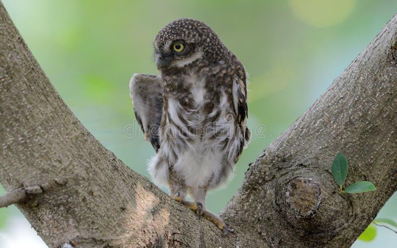 Owlet barrado asiático fotos de stock