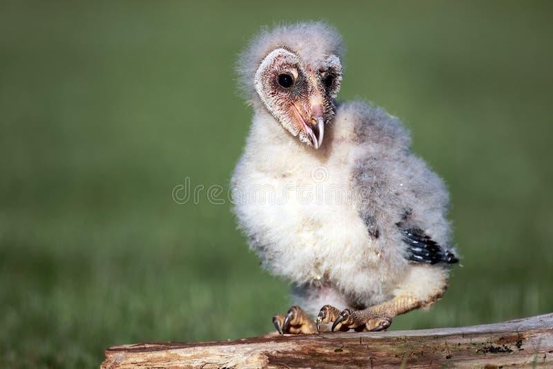 Owlet de grange photographie stock