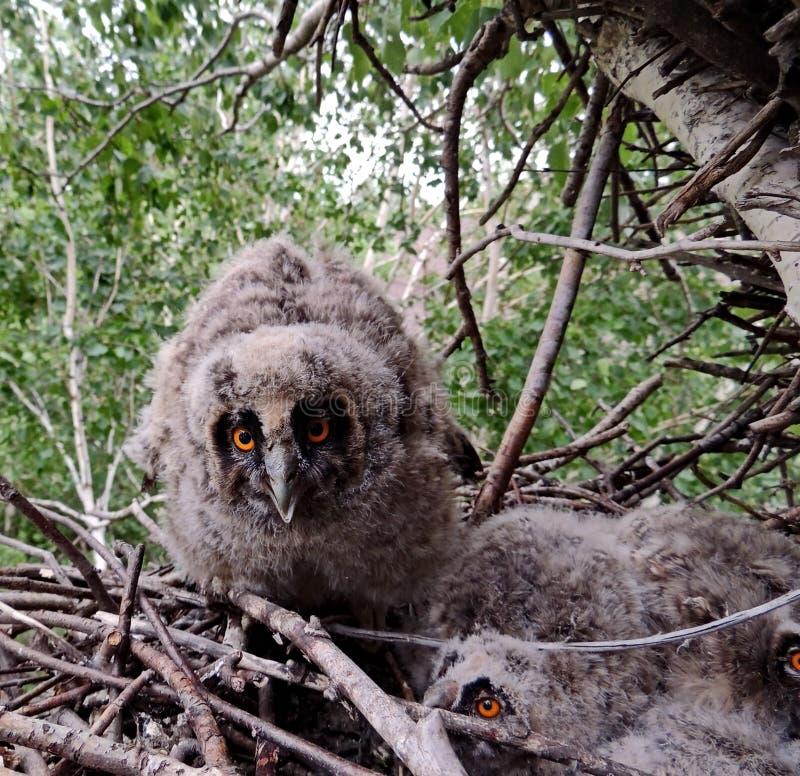 owlet Le hibou gris, ou l'aluco latin de Strix de hibou commun est un oiseau moyen de la famille des hiboux photo libre de droits