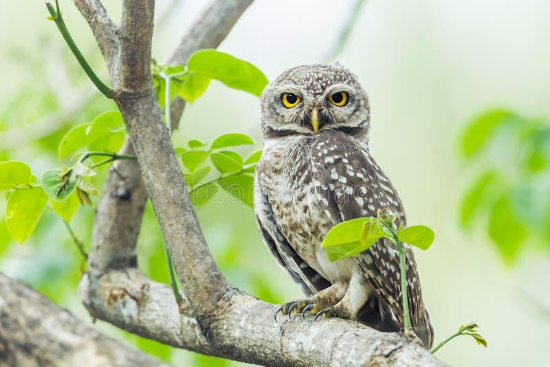 Owlet manchado imagens de stock royalty free