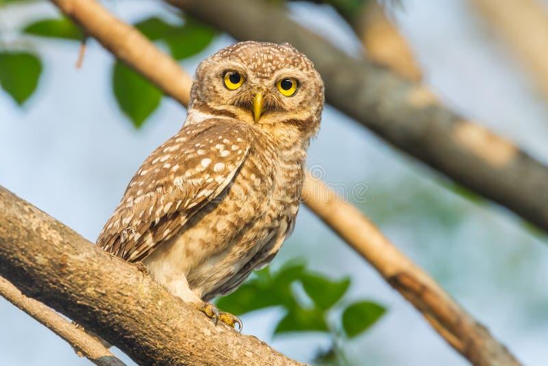 Owlet manchado fotografia de stock royalty free