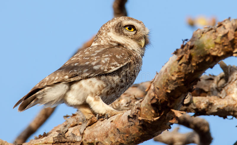 Owlet manchado foto de stock royalty free
