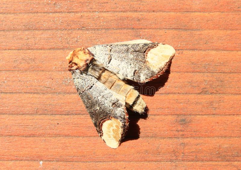 Owlet moth royalty free stock image
