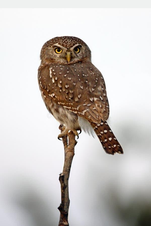 Owlet Perla-Macchiato - Savuti - Botswana fotografie stock