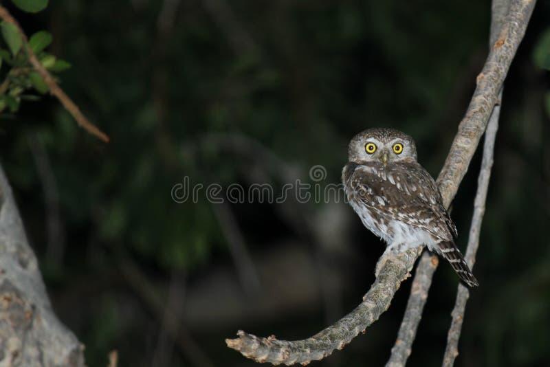 owlet Perle-repéré photographie stock