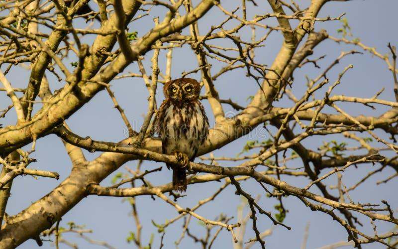 Owlet repéré par perle image stock