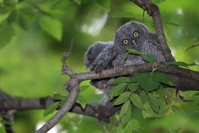 Owlets del chillido fotografía de archivo