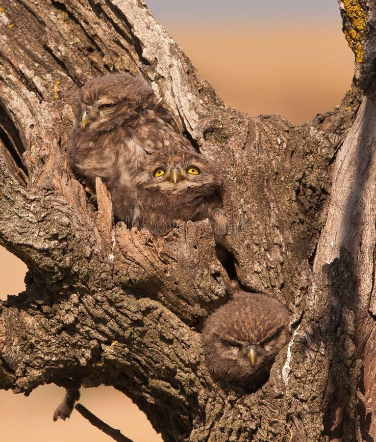 Owlets pequenos: três irmãos imagem de stock royalty free