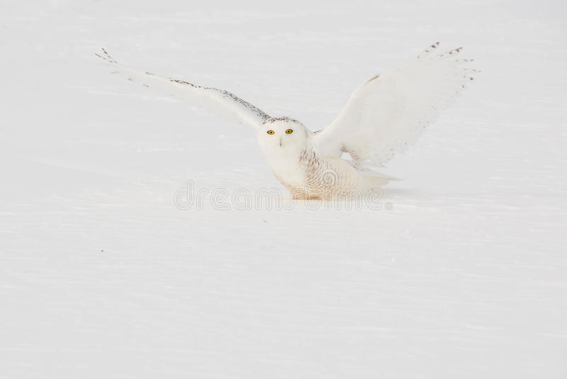 owlprague snöig zoo royaltyfri fotografi