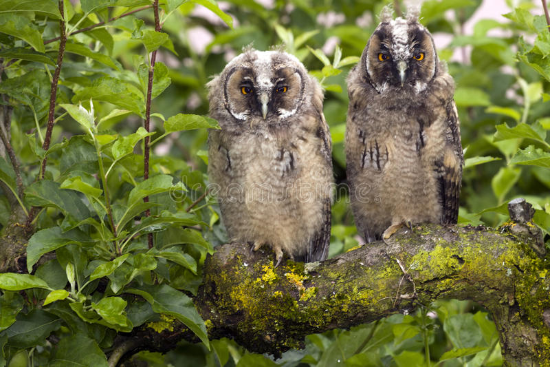 owls royaltyfri foto