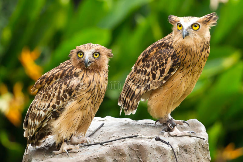 Owls. A pair of owls in captivity