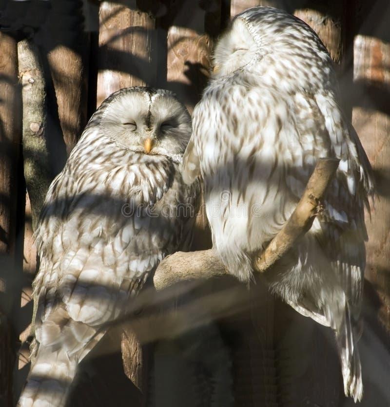 Owls stock image