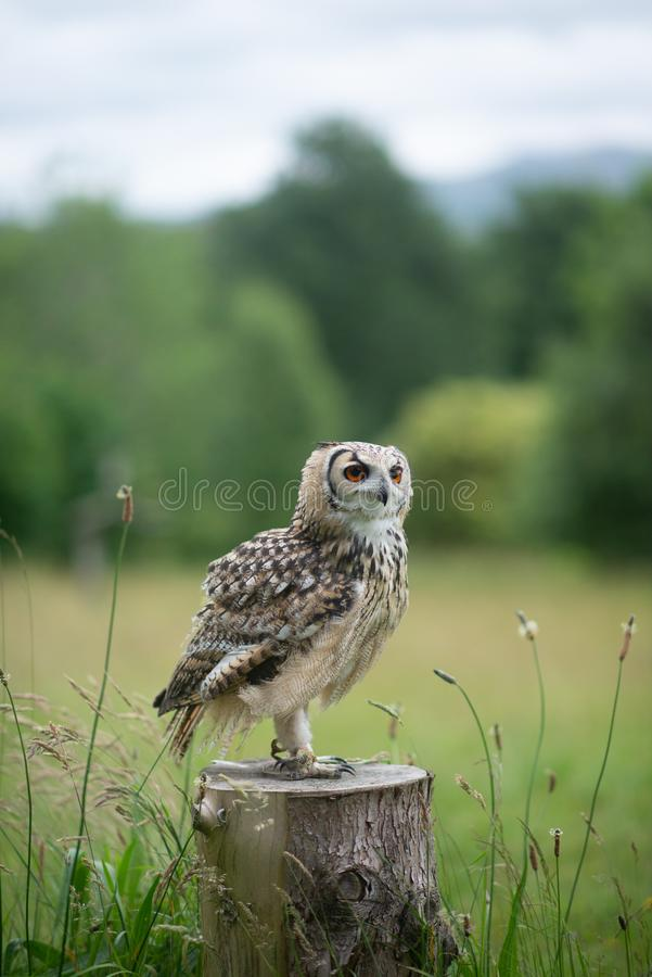 Owl Bird Perching on Wood in Meadow. Owls are birds from the order Strigiformes, which includes about 200 species of mostly solitary and nocturnal birds of prey royalty free stock photo