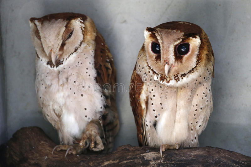 Owls Stock Photos - Download 9,927 Royalty Free Photos
