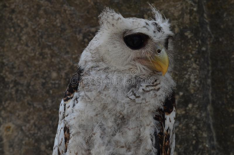 Owls are members of the order Strigiformes, including the bird of prey and are night animals ... royalty free stock photos