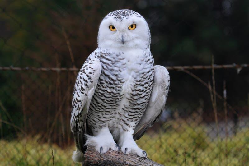 owlsnow royaltyfri bild