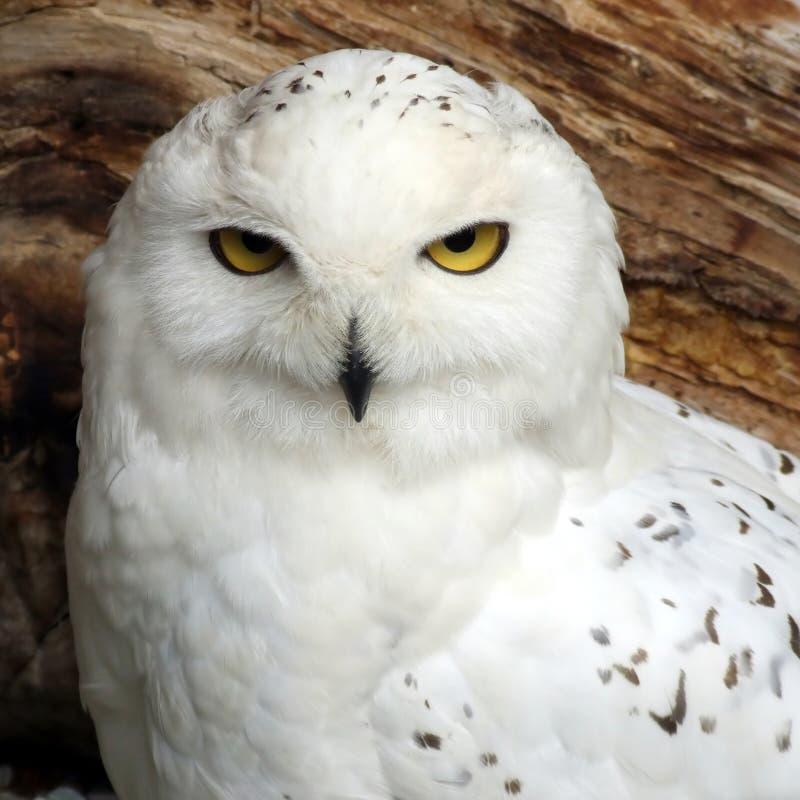owlwhite royaltyfria foton