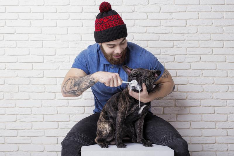 The owner is brushing his pet`s teeth. dog French Bulldog. toothbrush and toothpaste royalty free stock images