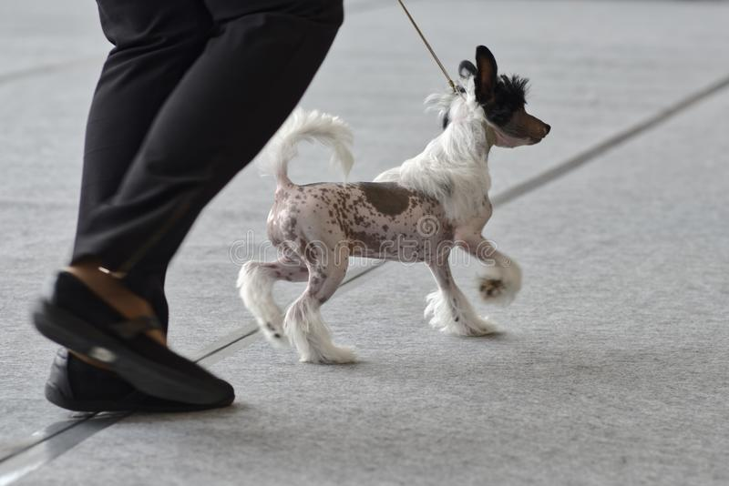 Dog on the dog show. Owner with dog on the dog show royalty free stock photography