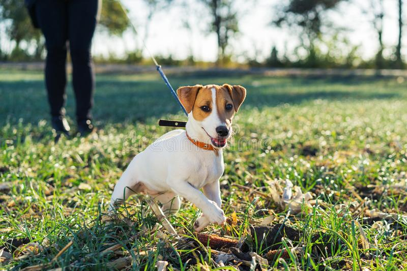 Owner keeps the dog Terrier Jack Russell on the collar rushing forward for a walk royalty free stock photos