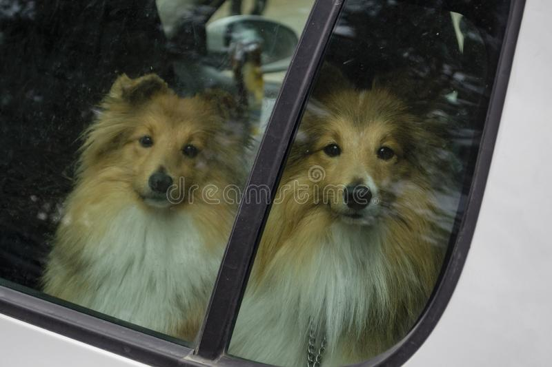 Dogs alone in a car. The owner locked the sheltie dogs in the car and left royalty free stock photography