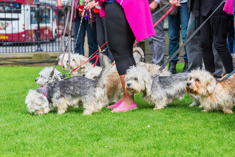 Owner meeting of the Dandie Dinmont Terrier. Meeting of owners of the Dandie Dinmont Terrier breed in the city royalty free stock photos