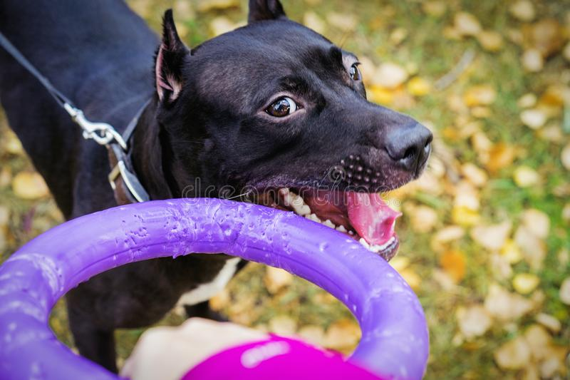 Owner playing with dog puppy American pit bull terrier with puller toy in teeth in the autumn park stock images