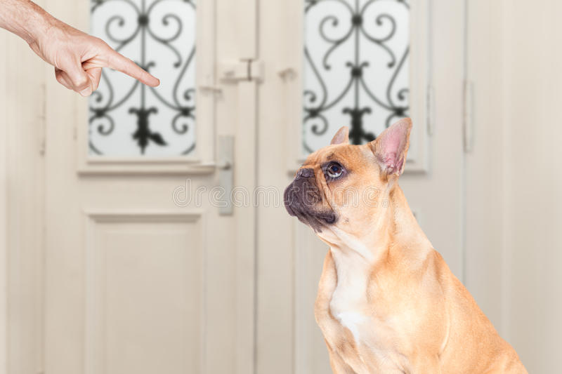 Owner punishing his dog. French bulldog being punished by owner for very bad behavior , with finger pointing at dog royalty free stock photos