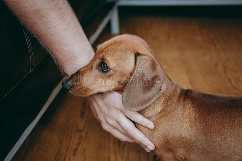Owner`s hand caressing brown smooth hair dachshund puppy. Owner`s hand caressing brown smooth hair dachshund puppy standing on the wooden floor at home royalty free stock photo